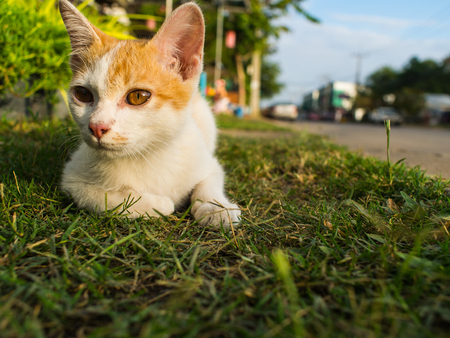 White Gold Kitten Stray Sitting Playing on The Field side of The Road Stock Photo
