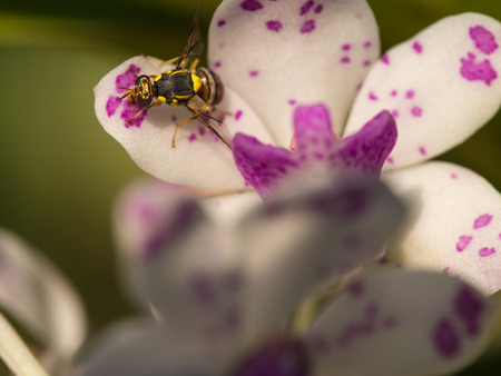 Yelllow Fly Perched on White Purple Orchid Flower