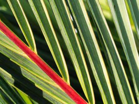 Leaf of Red Palm in Lighting ,Cyrtostachys renda , Wax Sealing Palm , Lipstick Palm