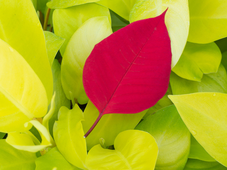 The Red Leaf on Yellow Leaf Stock Photo