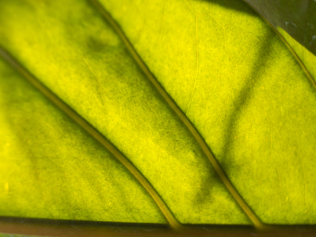 Blur of Yellow Green Leaf Texture So Close Stock Photo
