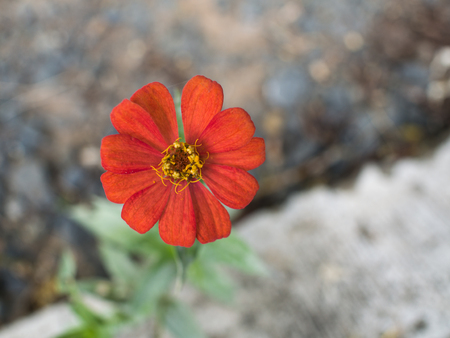 asteraceae: Red Cosmos Flower Blooming by The Roadside Stock Photo