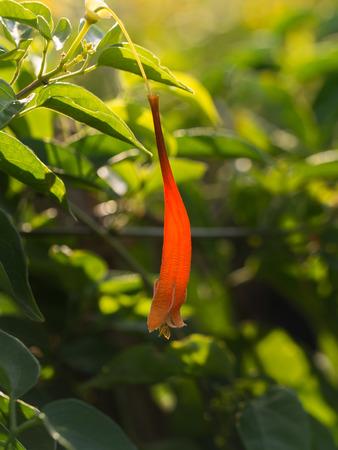 Orange Flame Flower Hanging Isolated