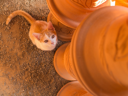 Golden White Kitten Sitting Looking up on The Top of Pot