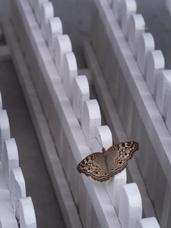 Brown Butterfly Percher on a White Fences Diagonally