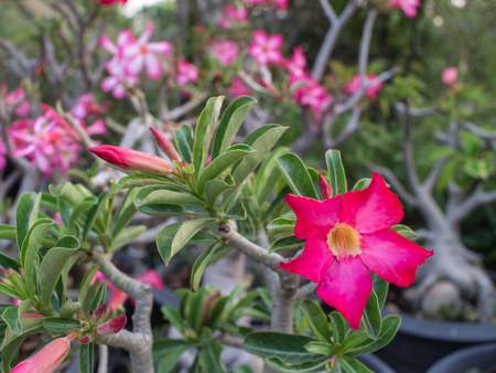 mock azalea: The Red Impala Lily Flower Blooming in The Field