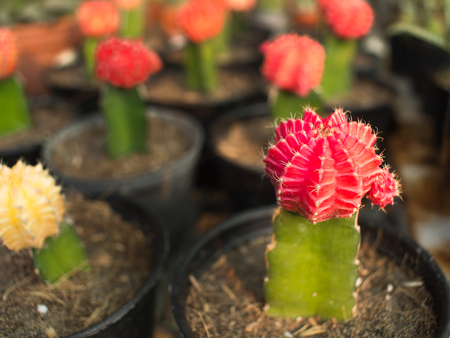 The Little Red Cactus in Pot