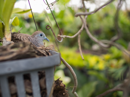 silverline: Dove Nesting in a Garden Orchid Pot Stock Photo