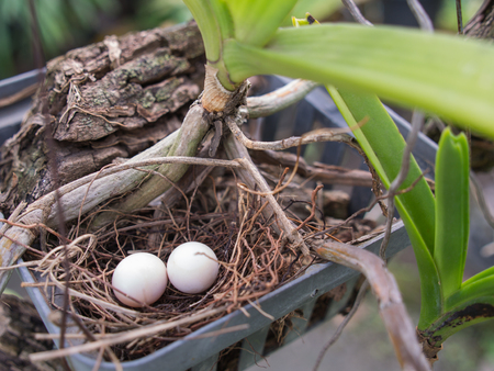 Eggs Dove Nest in a Nest That is an Orchid Pot