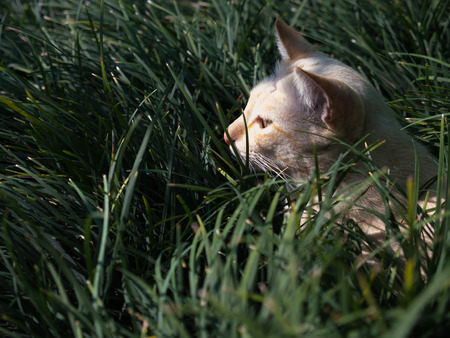 Stray Cat Yellow White Striped Head Notch Hiding in The Grass