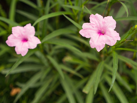 Pink Relic Tuberosa Flowers Blooming in The Garden
