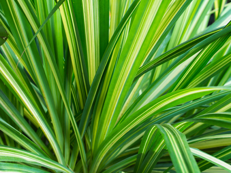 Yellow Green Pandanus veitchii Leaves in The Farm