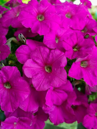 Pink Petunia Flowers  Hanging in The Garden