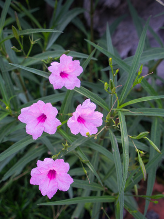 Pink Relic Tuberosa Flowers Blooming on The Ground