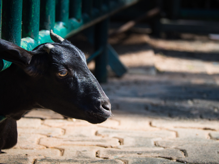 The Goat Takes a Head off The Steel Grille Stock Photo