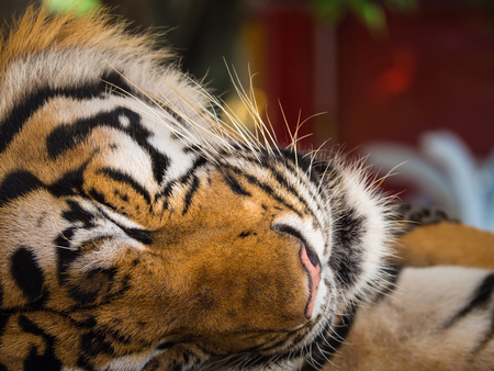 The Tiger Sleep Peacefully in The Zoo Stock Photo