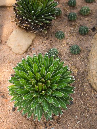 Cactus like a Flower in The Desert Stock Photo