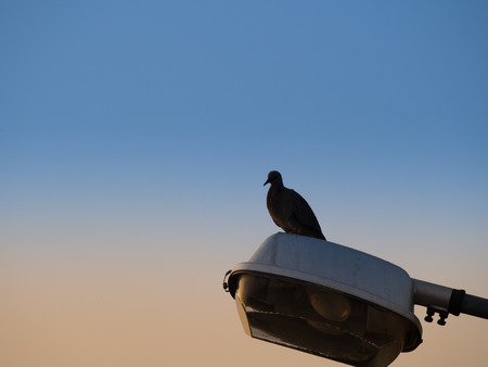 silverline: The Dove Standing on The Street Lamp Stock Photo