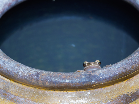 Golden Tree Frog Crouching on The Edge of The Jar