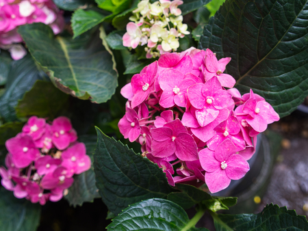 Pink Hydrangea Flowers Blooming in The Garden Stock Photo