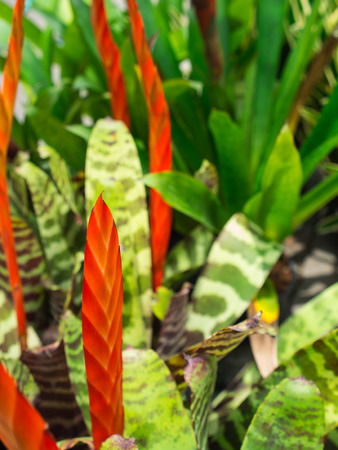 Red and Orange Bromeliad Flowers Blooming in The Farm