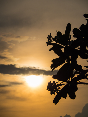 The Silhouette of Plumeria Behind The Sunset