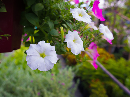 White Petunia Flowers Hanging in The Garden