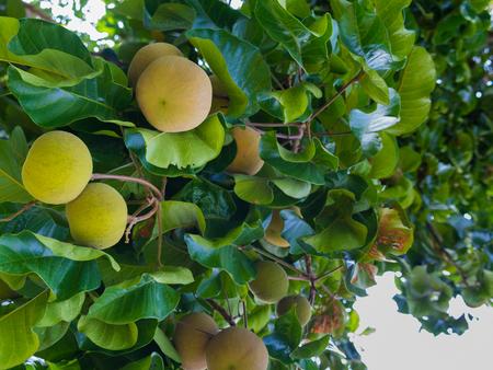The Santol Fruit is Ripe on The Tree