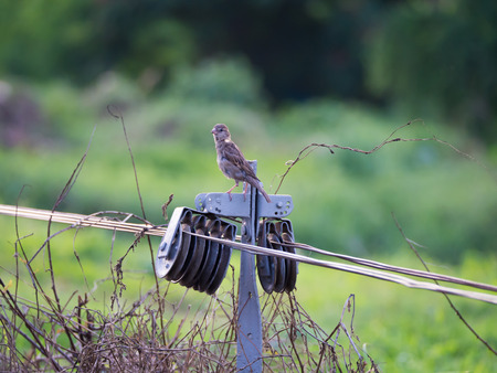 Big Sparrow Perched on Railroad Tracks Controller Wire