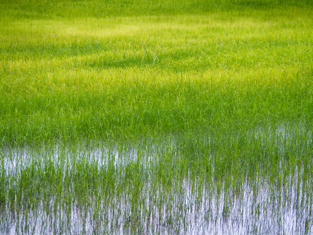 The Abstract of The Yellow Rice Field