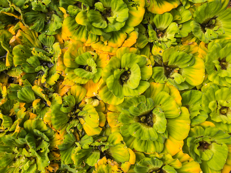 Green Yellow Water Fern Crowd in The Tub Stock Photo
