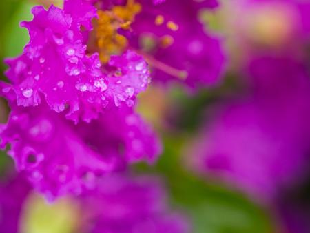 Water Drop on Purple Crape Myrtle Flower in The Rainy Season