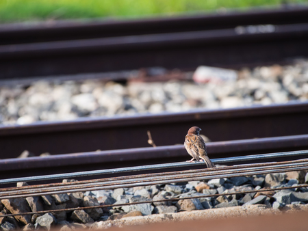 The Sparrow Standing Back on The Railroad Tracks