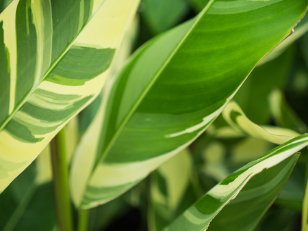 The Bird of Paradise Green Leaves with White Stripes