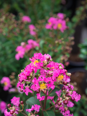 The Pink Crape Myrtle Flowers Blooming in The Garden Stock Photo