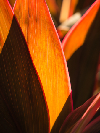The Red Cordyline fruticosa Leaf in The Backlight