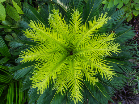 The Leaves of Sago Palm begin to Bloom after Rain