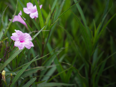The Pink Relic Tuberosa Flower Blooming in The Field after Rain Stock Photo