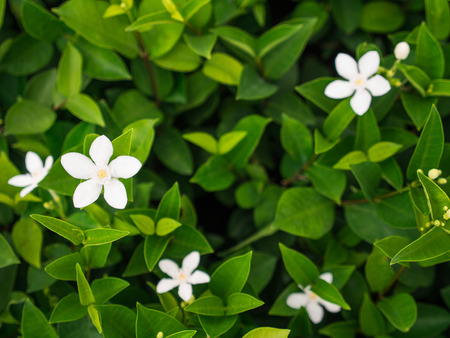 The White Gardenia Flower Blooming in The Farm