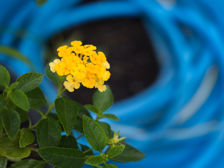 The Yellow Hedge Flowers Blooming behind Blue Background after Rain