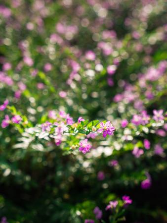 The Purple Crape Flower Blooming in The Gaden Stock Photo