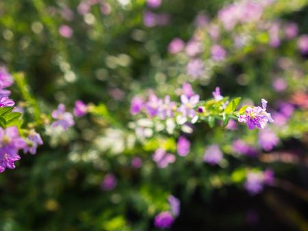 Blur of Purple Crape Flower Blooming in The Gaden