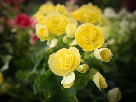 The Yellow Begonia Flowers Blooming in The Tree Shop