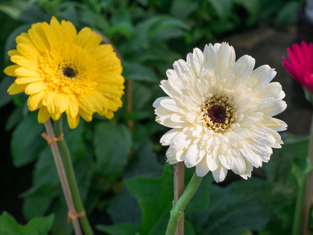Rain Drops Perched around The White and Yellow Gerbera Corolla Flower in The Garden Zdjęcie Seryjne