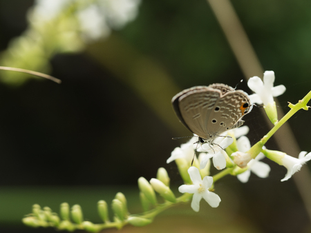 The Little Brown Butterfly Sucking Nectar on The Little White Flower Stamens