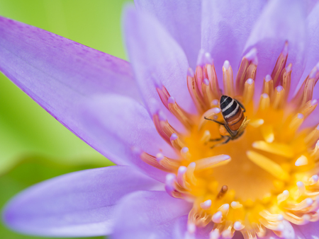 The Butt of Bee Sucking from The Purple Lotus Pollen