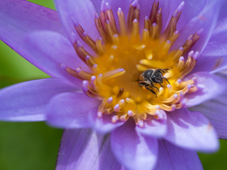 The Head of Bee Sucking from The Purple Lotus Pollen Stock Photo