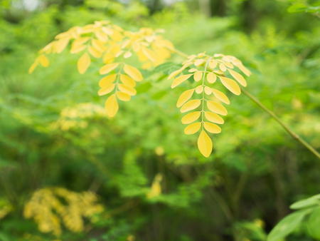 The Yellow Horseradish Tree Leaves in The Garden