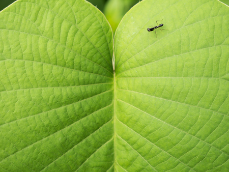 The Little Black Grasshopper Walking on The Elephant Climber Leaf Stock Photo