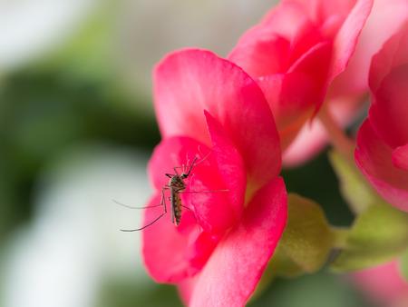 赤いベゴニアの花から蜜を吸う男性の蚊